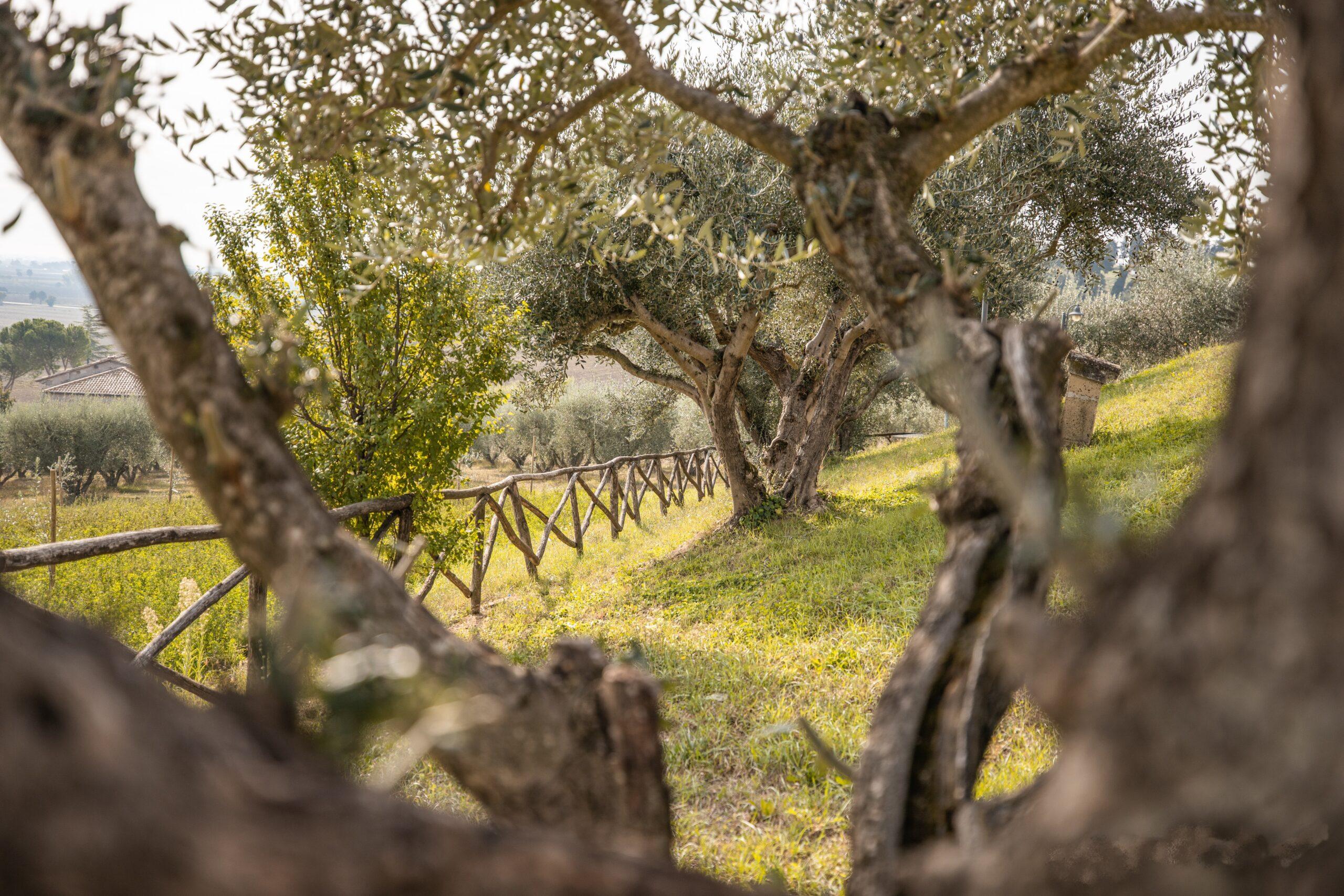 Giardino con gli ulivi